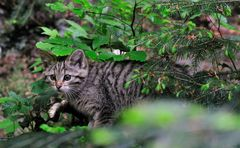 - Wildkatze - ( Feli silvestris ) Bay.-Wald. Tierfreigehege.