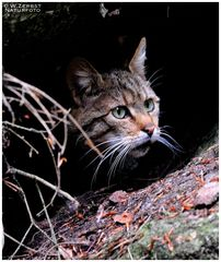 - Wildkatze - ( Felis silvestris ) Bay.-Wald.