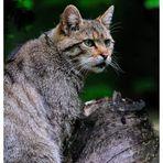 - Wildkatze - ( Felis silvestris )  Bay. Wald Tierfreigehege .
