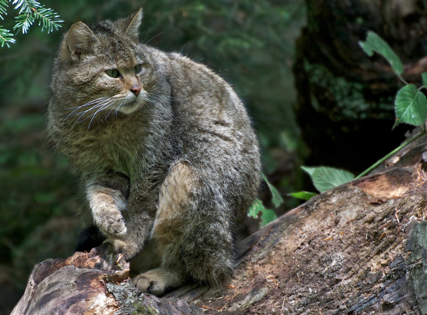 Wildkatze (Felis silvestris) Kater Tierfreigelände Neuschönau