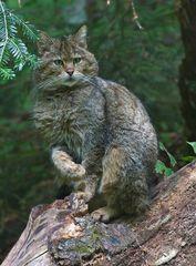 Wildkatze (Felis silvestris) Kater Tierfreigelände Neuschönau II