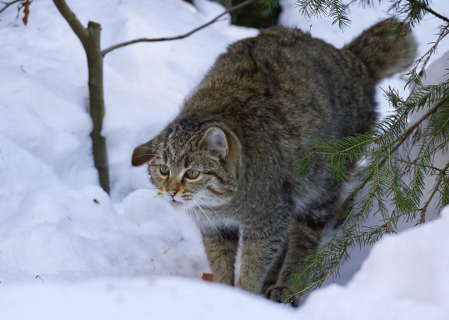 Wildkatze im Nationalpark Bay.Wald...