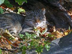Wildkatze in der Herbstsonne