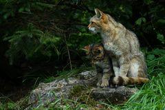 Wildkatze mit Nachwuchs