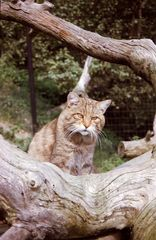 Wildkatze - Wildpark Aßling