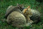 Wildkatzen ...