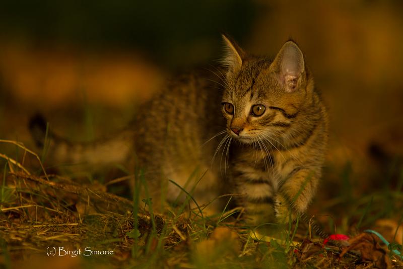 Wildkatzen...