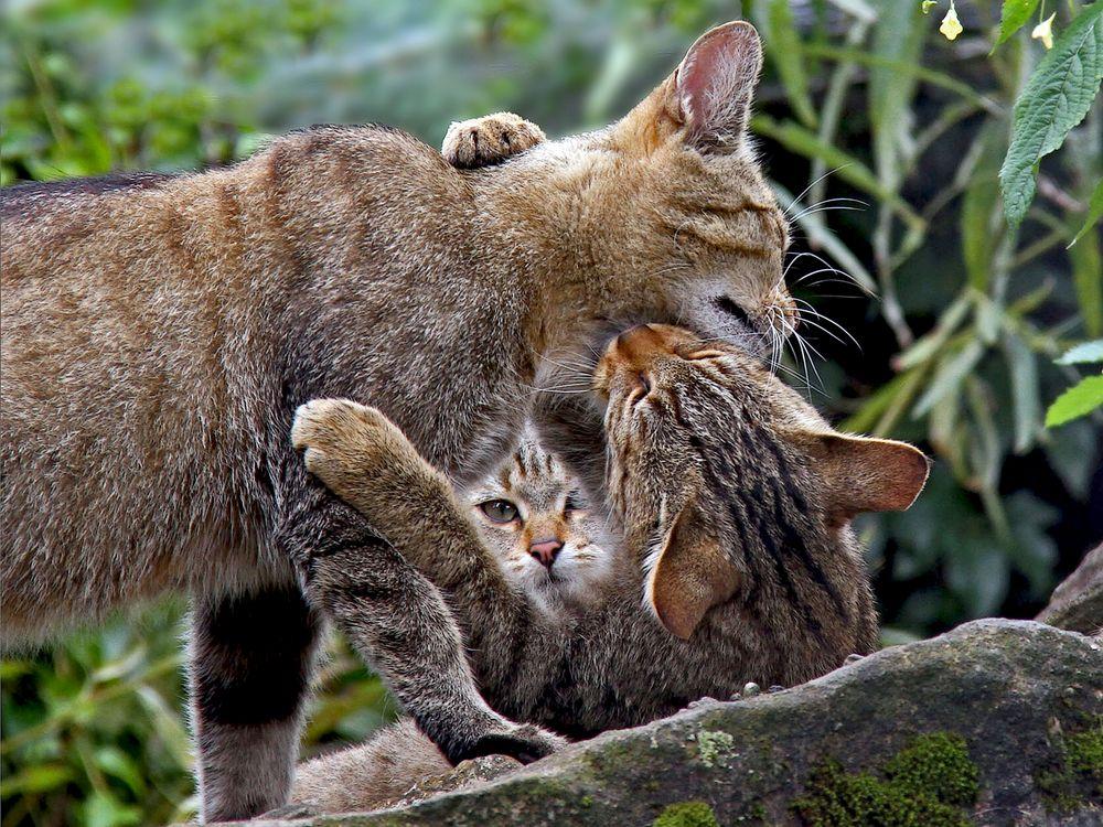 Wildkatzen: Geborgen bei Mama und Papa ... - Le petit se sent protégé!