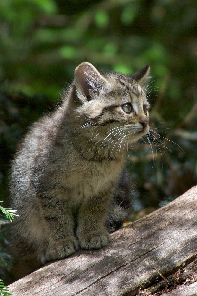 Wildkatzen Junges im Tierfreigelände Neuschönau Mai 2012