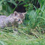 Wildkatzenbaby (Felis silvestris silvestris)