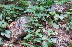 Wildkatzenbabys