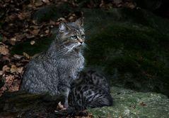 Wildkatzenfamilie