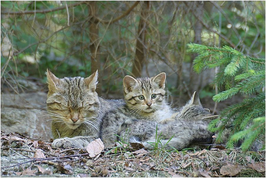 Wildkatzennachwuchs +++ Nationalpark Bayerischer Wald
