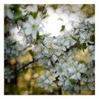 Wildkirsch-Blüte(n)