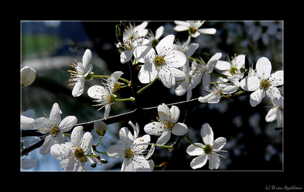 Wildkirschblüten