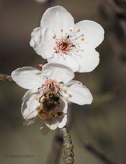 Wildkirschen-Blüten
