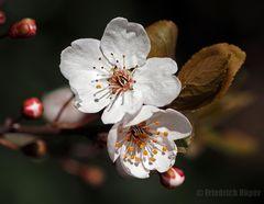 Wildkirschen-Blüten_2