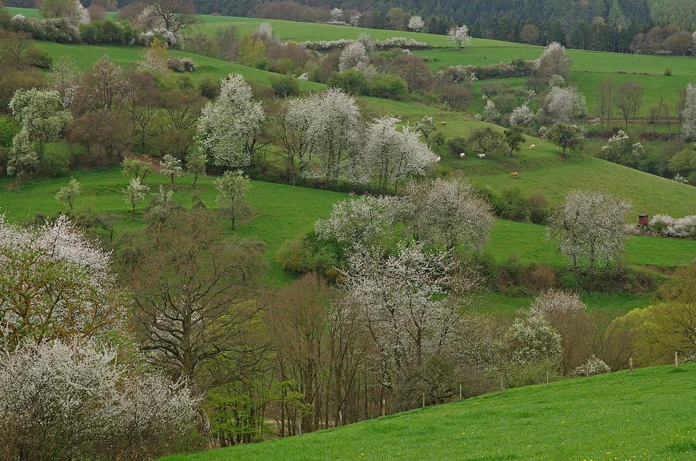 Wildkirschenblüte 4.4.14