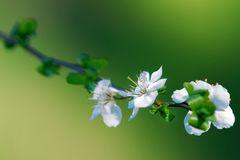 Wildkirschenblüte