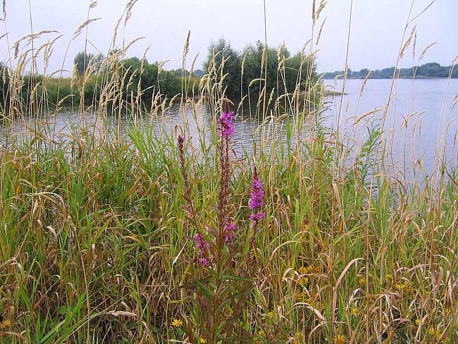 Wildkräuter an der Elbe (Neu Darchau)