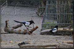 Wildlebende Elstern auf einem Zoogelände