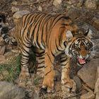 Wildlebender junger Tiger in Indien
