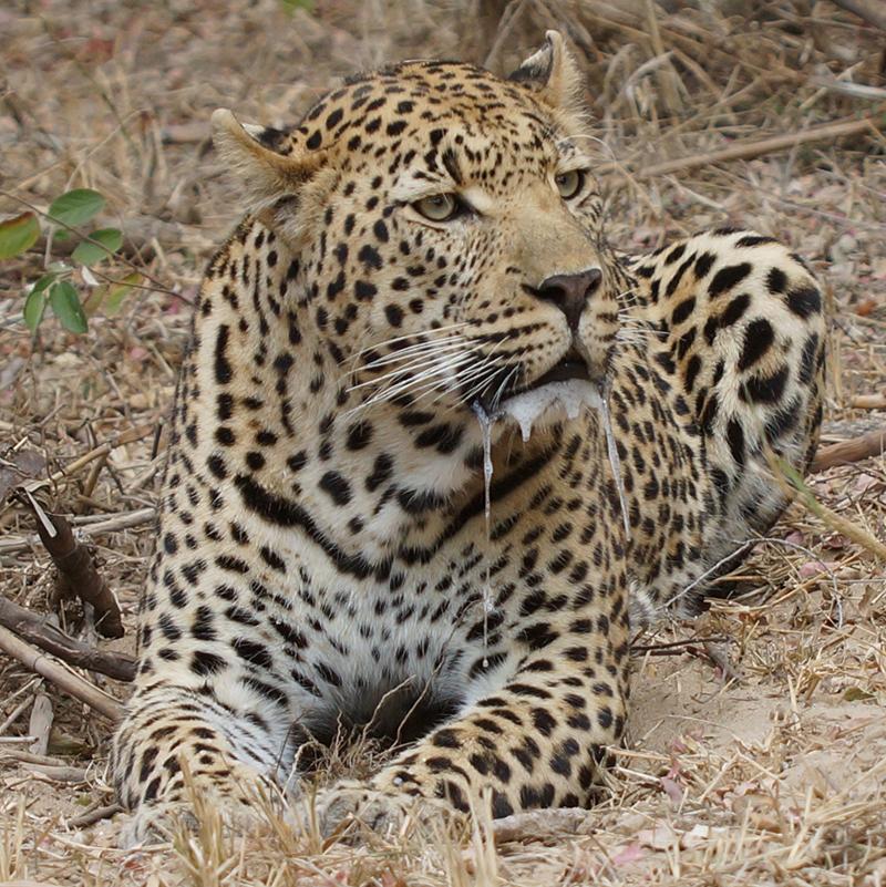 Wildlife 1 : INYATI Private Game Reserve / Sabi Sand-Südafrika
