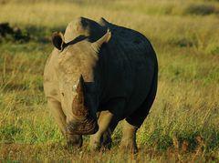 Wildlife #1 - Rhino (kommt)