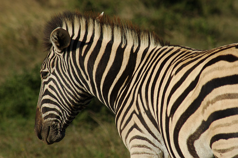 Wildlife #3 - Burchells Zebra