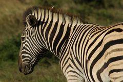 Wildlife #3 - Burchells Zebra