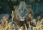 Wildlife #5 - Löwe