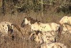 Wildlife-Doku ...Wildpferde
