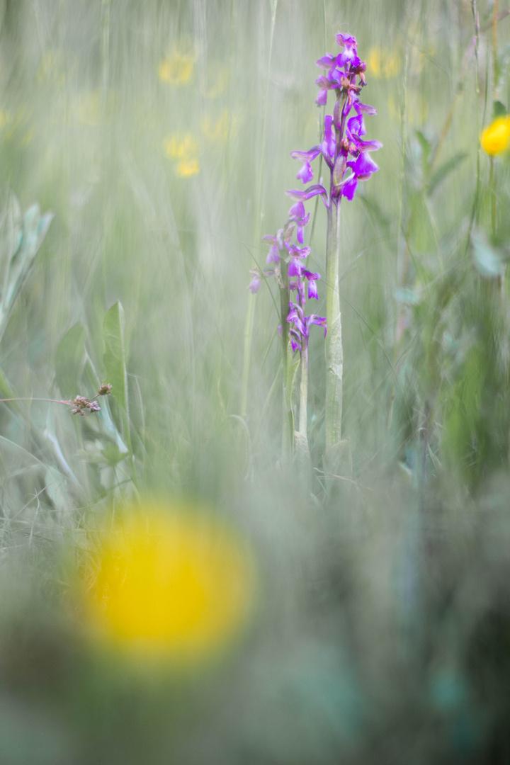 Wildorchidee