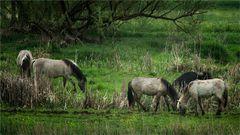 Wildpferde an der Aurach