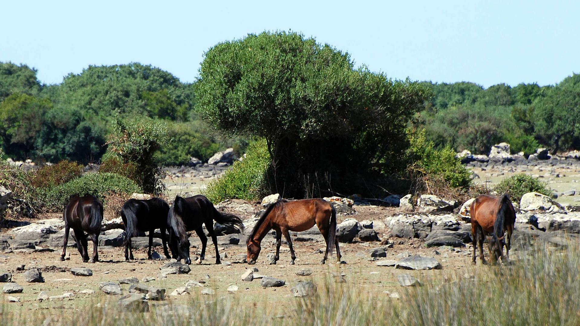 Wildpferde auf Sardinien