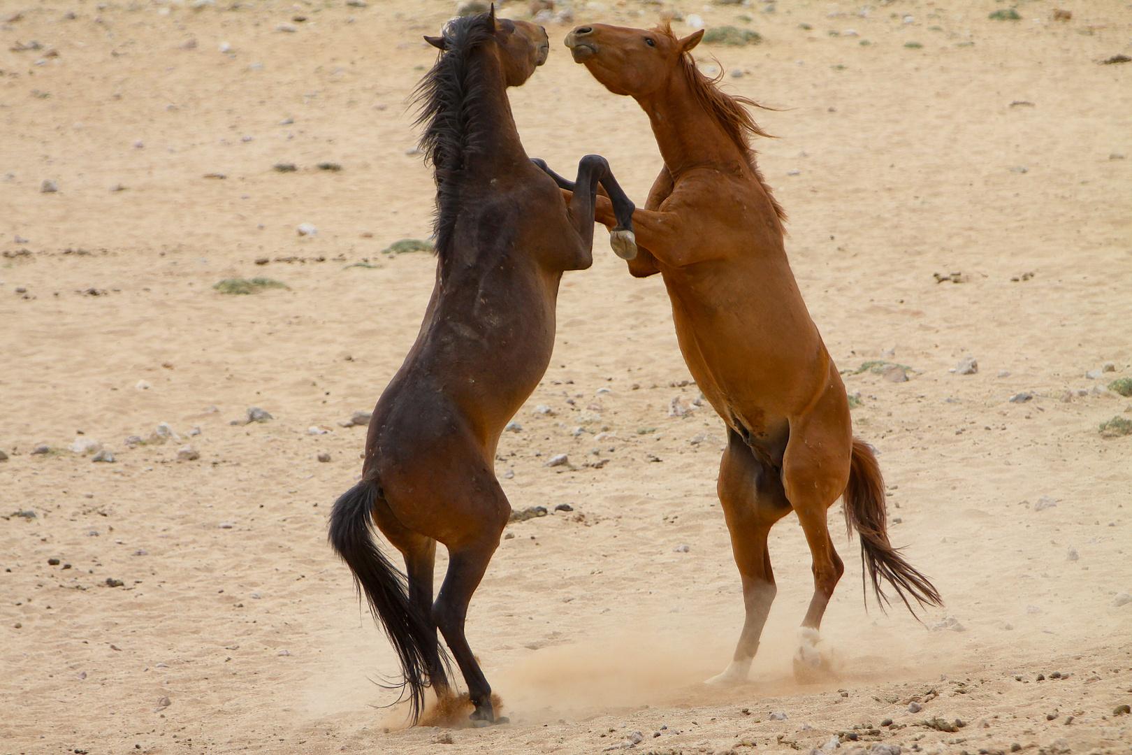 Wildpferde bei Garub/Namib