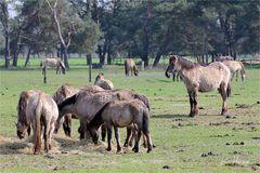 Wildpferde im Merfelder Bruch ....