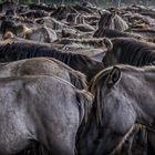 Wildpferde im Merfelder Bruch_01