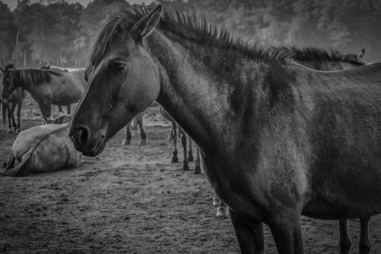 Wildpferde im Merfelder Bruch_04