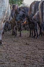 Wildpferde im Merfelder Bruch_05