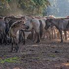 Wildpferde im Merfelder Bruch_08