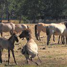 Wildpferde im Mervelder Bruch 1