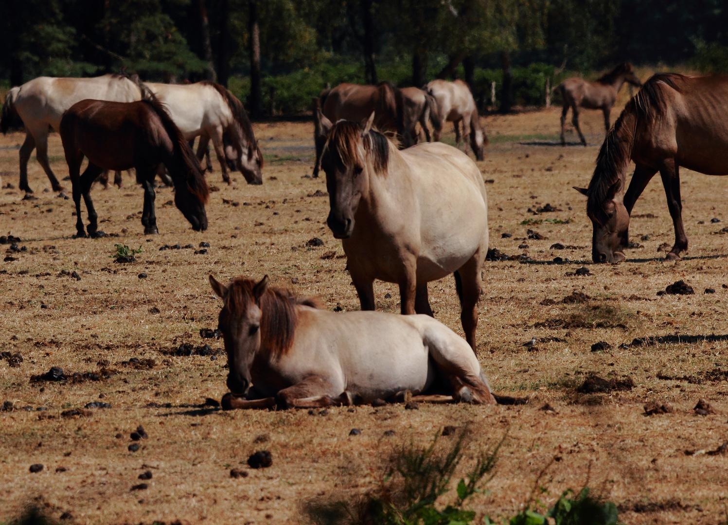 Wildpferde im Mervelder Bruch 2