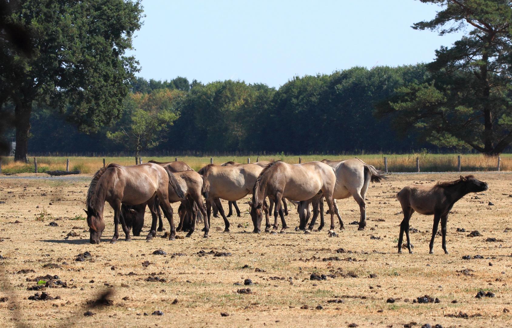 Wildpferde im Mervelder Bruch 3
