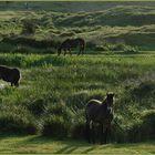 "Wildpferde in der ""Bollekammer"" / Texel"
