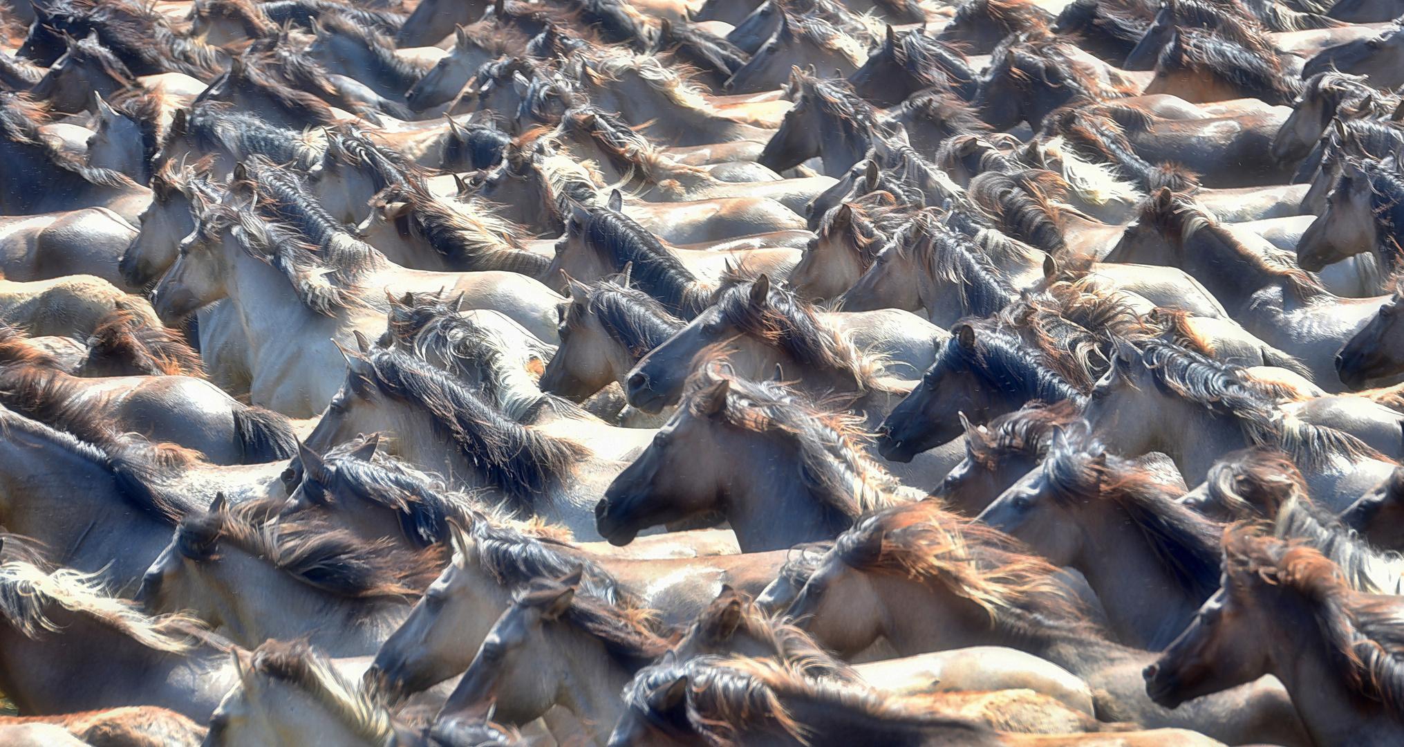 Wildpferdefang in Dülmen