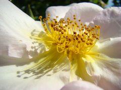 Wildrose, weiss1