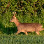 Wildrosenbock - Der Romantiker , gemächlich lief er ein Stück weiter