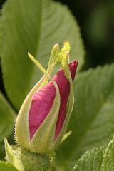 Wildrosenknospe