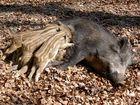 Wildschwein beim säugen
